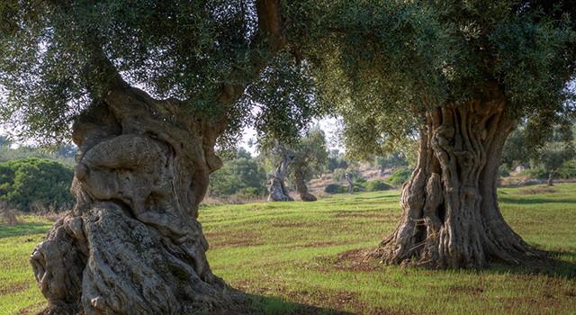 Olio extravergine di oliva: dalla contraffazione agli olii DOP