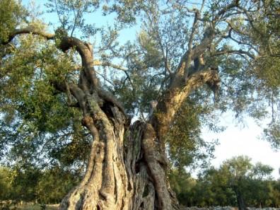 L'UE: abbattimento di tutti gli ulivi contagiati dalla Xylella