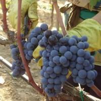 vendemmia in puglia - La Terra di Puglia