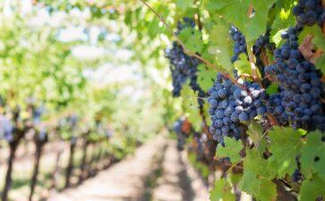 Vendite online di vini pugliesi, il trend è in crescita