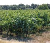 Il Nero di Troia: sostenibilità e ritorno di un vitigno pugliese