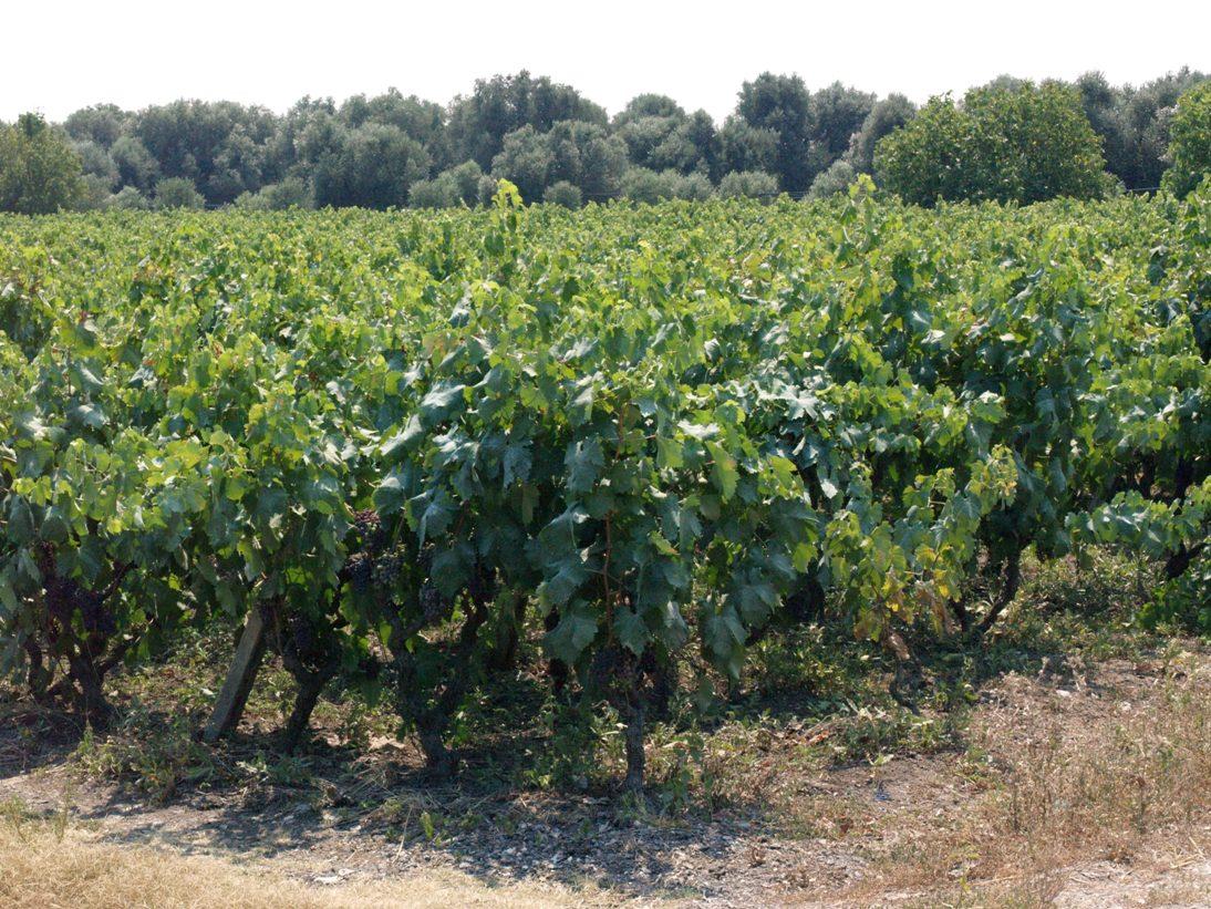 vino-salice-salentino