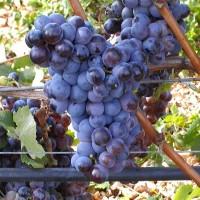 vitigni-puglia-gambero-rosso