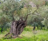 """La Puglia ed il Salento ripiantano gli ulivi e combattono la Xylella con la """"Favolosa"""""""