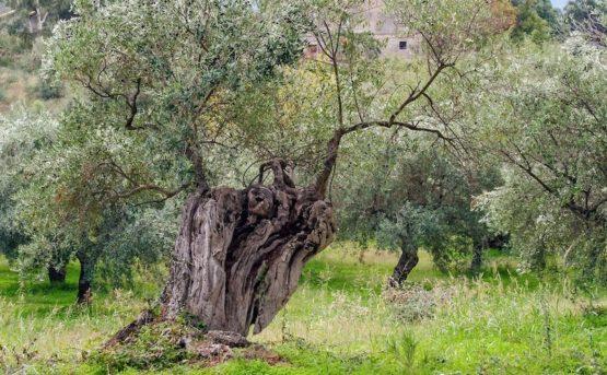 Coldiretti Puglia: fondi UE insufficienti per combattere la Xylella