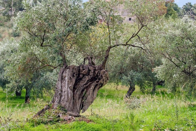 xylella-olivi-pugliesi